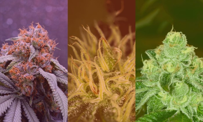 sativa-indica-and-hybrid-whats-the-difference-between-cannabis-ty